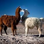 Llamas, Crowdfunding, Italy
