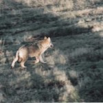 predator, Tuscany, wolf