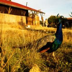 peacock, Tuscany, farm