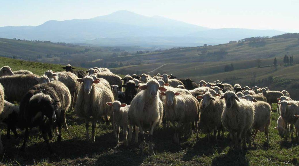 Pecorino di Pienza pecore