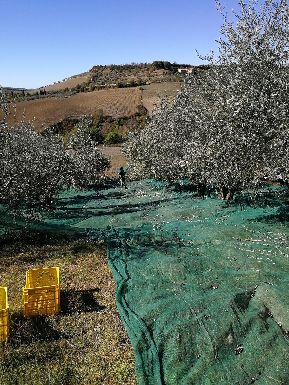 Raccolta olive podere il casale